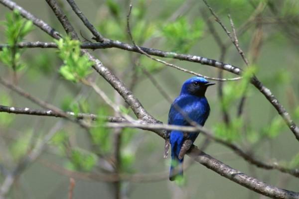 Pajarito azul en una rama