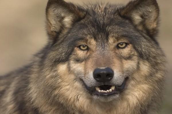 Lobo enseñando los dientes