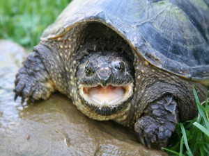 Postal: Tortuga con la boca abierta