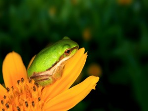 Postal: Pequeña rana en una flor naranja
