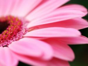 Postal: Gerbera rosa