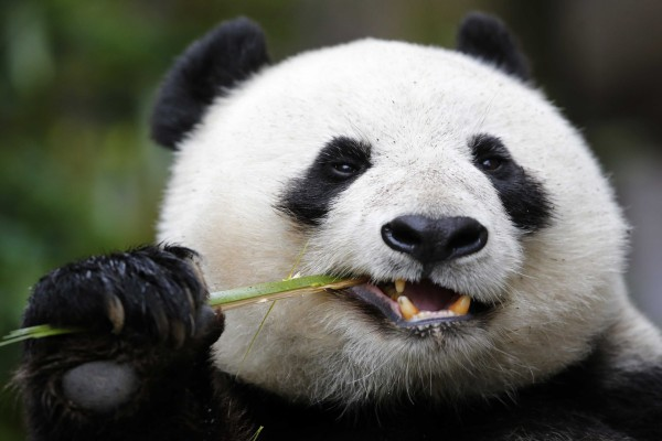 Oso panda comiendo una rama de bambú