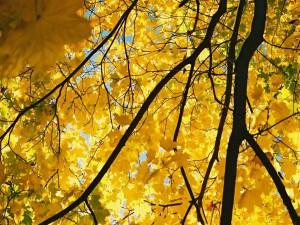 Árbol de hojas amarillas