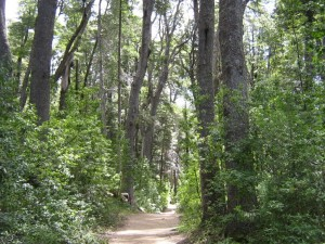 El bosque de Coihues, en la Península de Quetrihué (Neuquén, Argentina)