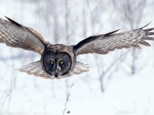 Postal: Lechuza volando