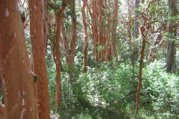 """Bosque de Arrayanes (Luma apiculata) en el Parque Nacional """"Los Arrayanes"""" (Argentina)"""