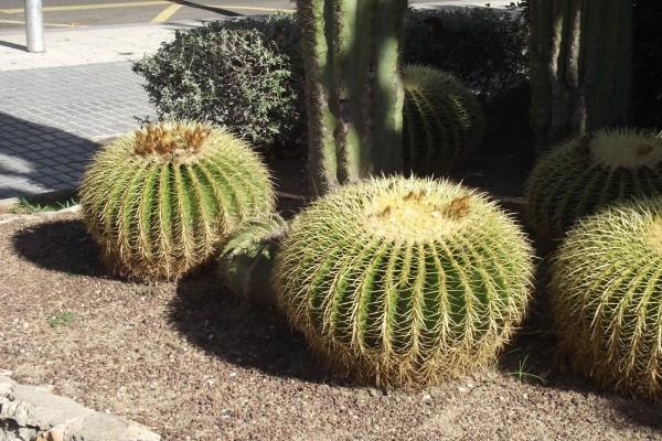 Cactus redondo