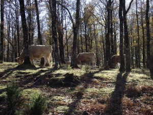 Postal: Vacas pastando