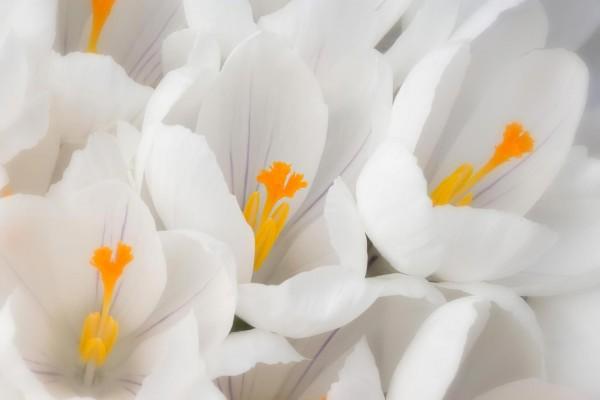 Flores blancas con pistilos naranjas