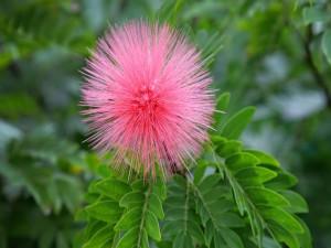 Postal: Flor rosa con forma de erizo de mar