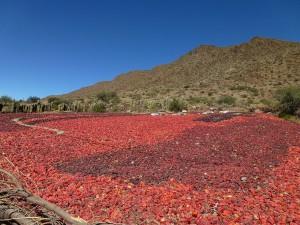 Pimientos en Cachi, Provincia de Salta (Argentina)