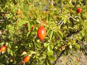 Rosa mosqueta con frutos