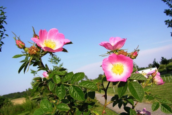 Rosa rubiginosa (rosa mosqueta) con algunos capullos