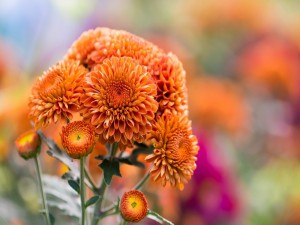 Postal: Crisantemos naranjas