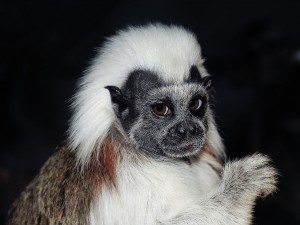 Tití cabeza blanca (Saguinus oedipus)