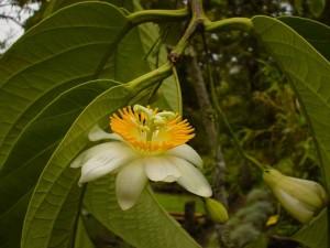 Postal: Passiflora arborea