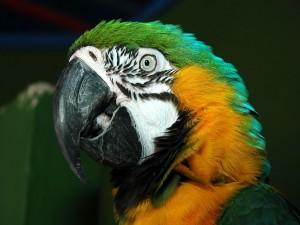 Guacamayo de colores