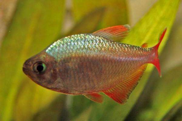 Pez colombiano (Hyphessobrycon columbianus)