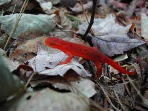 Postal: Bonito anfibio rojo