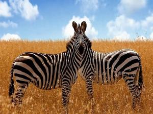 Postal: Dos cebras