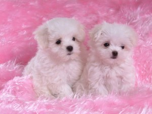 Postal: Cachorros de Bichón Maltés