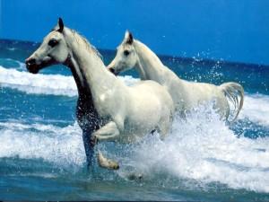 Postal: Dos caballos blancos