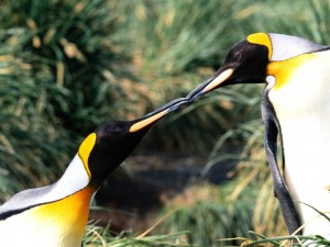Beso de pingüinos