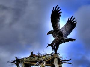 Postal: Águila en su nido