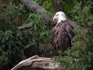 Postal: Águila calva