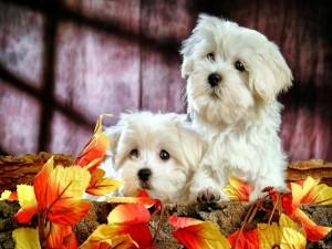 Dos lindos perritos blancos