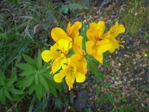 Flores amancay