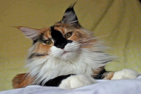 Precioso gato tricolor