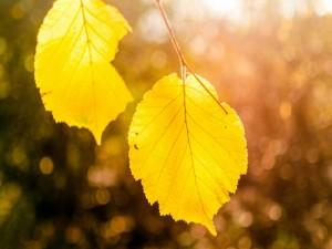 Postal: Hojas amarillas