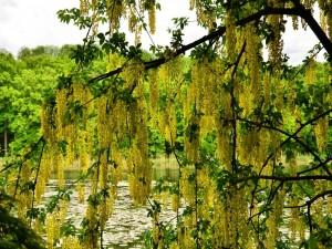 Árbol con hojas colgantes