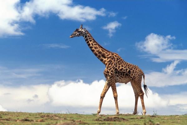 Pequeña jirafa