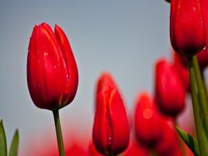 Postal: Bellos tulipanes rojos