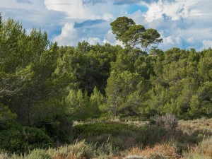 Postal: Pinos en Bois des Aresquiers (Hérault, Francia)