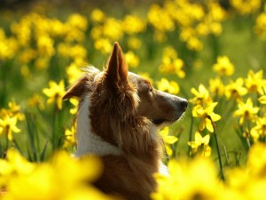 Postal: Perro entre flores amarillas