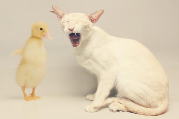 Un gato con un pato