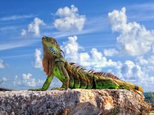 Iguana al sol