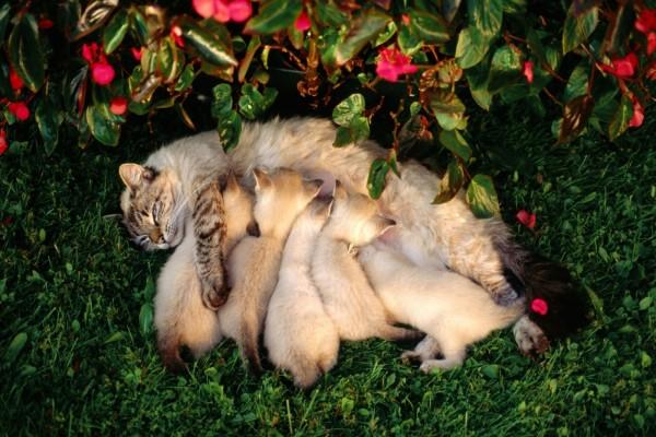 Gatitos bebiendo leche de su madre