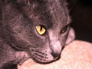 Postal: Gato con ojos amarillos