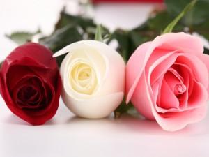 Postal: Rosas: roja, blanca y rosa
