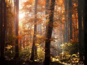 Postal: Pinos con hojas doradas