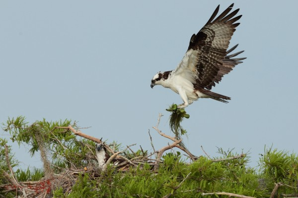 Nido de águila pescadora