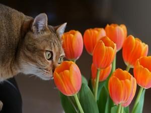 Postal: Gato olisqueando unos tulipanes
