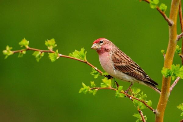 Pájaro de cabeza roja en una rama