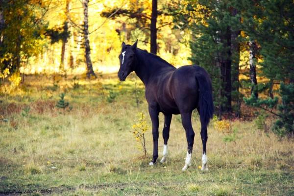 Caballo negro con patas blancas