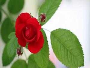 Rosa y pimpollos rojos