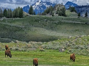 Postal: Bisontes en el Parque Nacional de Yellowstone